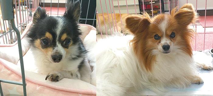 マザー,ルーフ,福岡,保護犬,小型犬,高齢犬,チワワs ,パピヨン