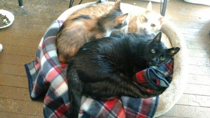ミルク,19歳,黒猫,ベッド,3匹寝る,仲良し
