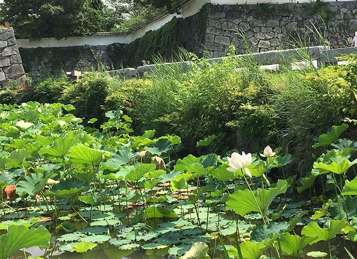 蓮の花,お散歩,お濠,舞鶴公園,保護犬,北斗,高齢犬