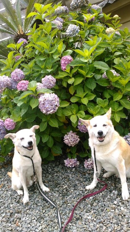 犬,あじさい,花,寺,散歩,笑顔,梅雨