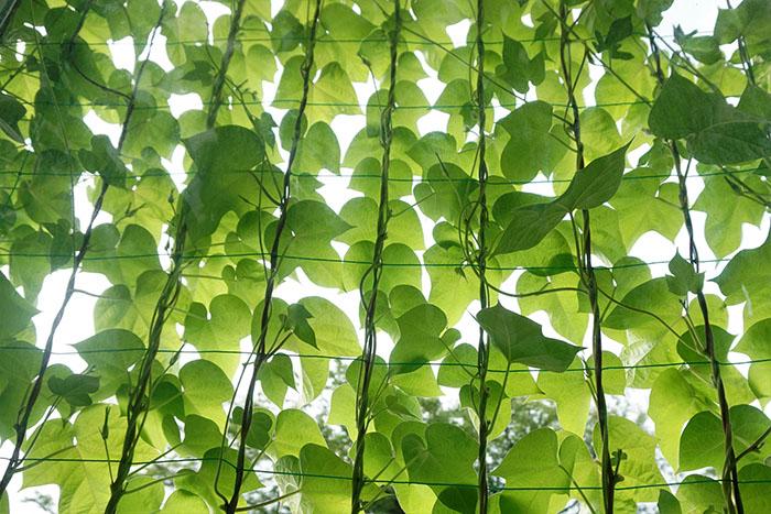 コラム,グリーン,カーテン,植物,エコ,日除け,日陰,省エネ,熱中症,観葉植物
