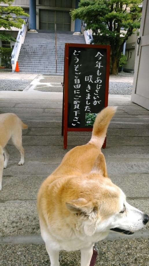 あじさい,寺,徳栄寺,看板,境内,犬,散歩