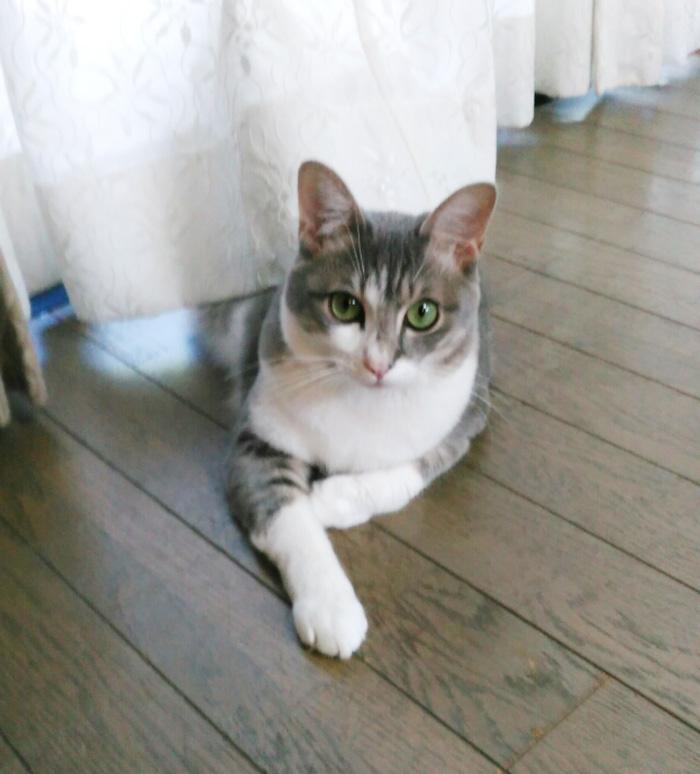 保護猫,福,ハンサム猫,毛並み,外の眺め,カーテン