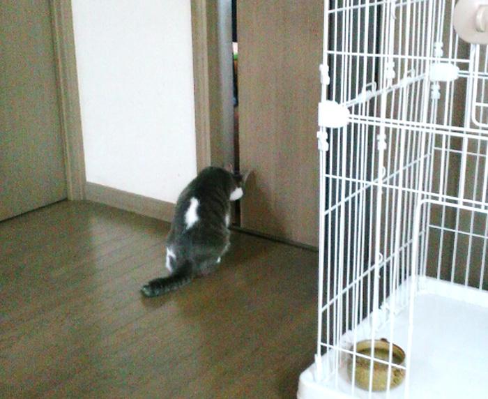 保護猫,ハンサム,福,扉をのぞく,白い毛,グレー,ポッチャリ