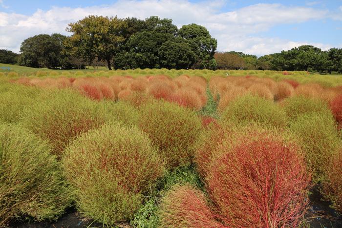 コキア,海の中道,花の丘,緑から赤,グラデ,もふもふ,まるまる,かわいい