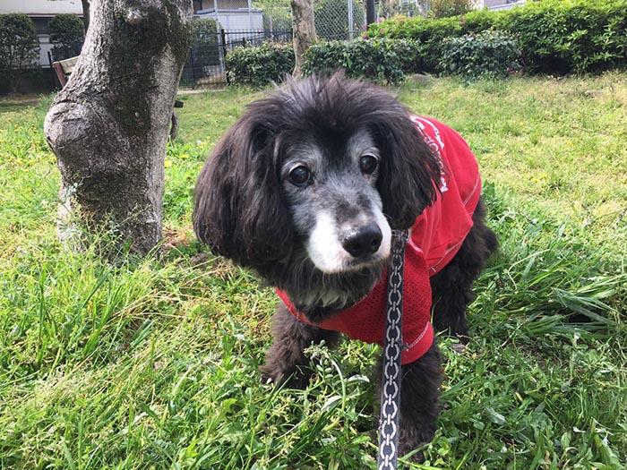 マザー,ルーフ,高齢犬,シニア犬,介護,お散歩,歩行,保護犬