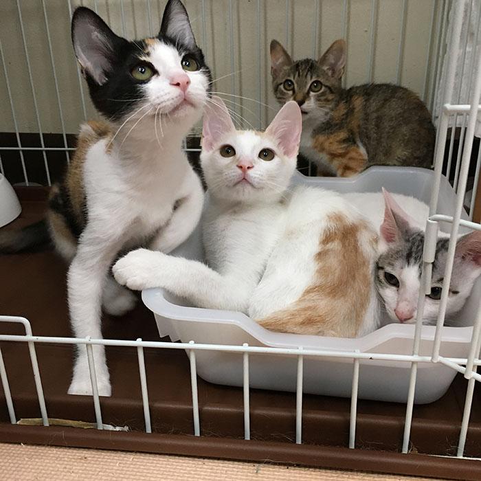 マザー,ルーフ,福岡,赤ちゃん猫,白猫,三毛猫,保護猫,ワクチン,里親,募集