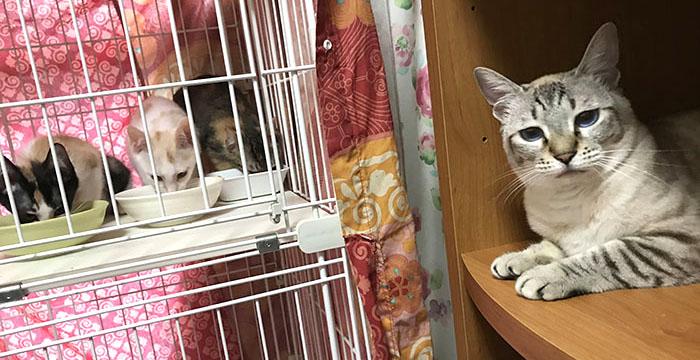 マザー,ルーフ,保護猫,里親,募集,三毛猫,白猫,先住猫