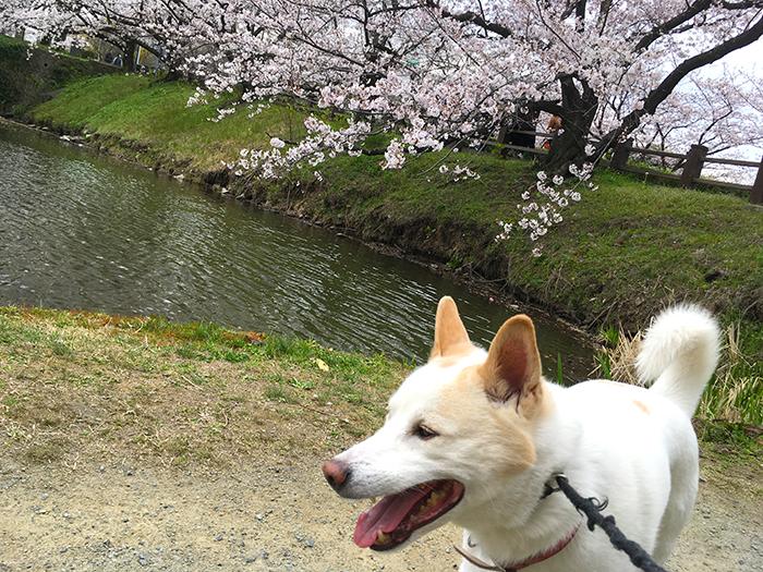 マザー,ルーフ,お花見,桜,福岡市,コロナ,保護犬,舞鶴公園,福岡城趾,お散歩