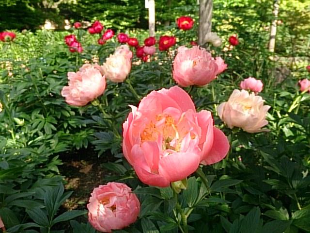 花,シャクヤク,筥崎宮,庭園,見ごろ