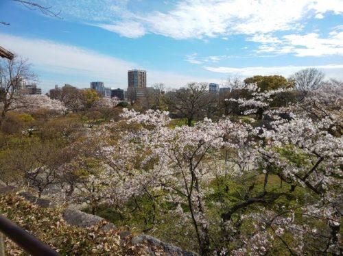 桜,花見,舞鶴公園,博多,福岡城
