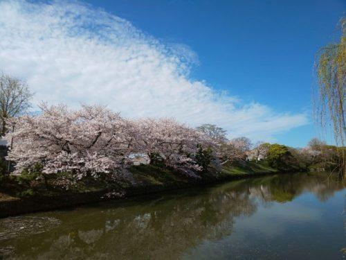 桜,花見,舞鶴公園,福岡城,博多
