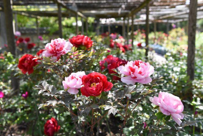 花,ぼたん,筥崎宮,庭園,見ごろ