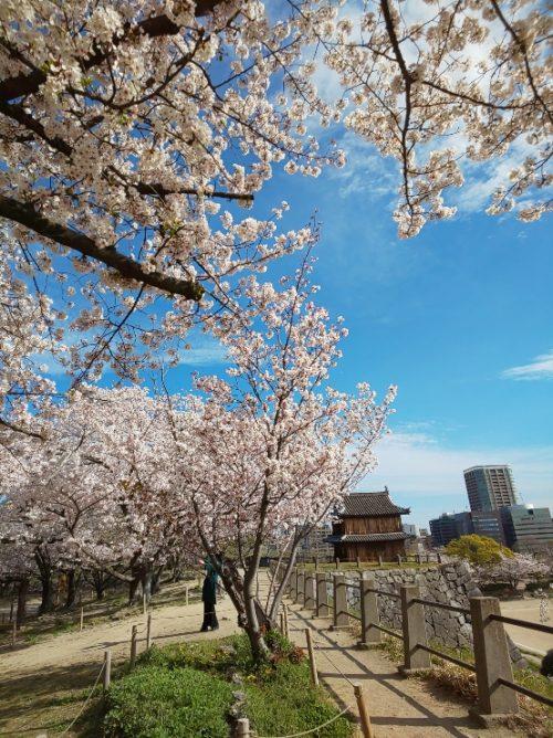 桜,花見,福岡城,舞鶴公園,博多
