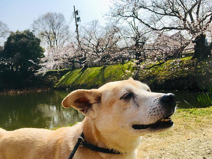 お散歩,桜,さくら祭り,舞鶴公園,お濠端,いい天気,マザー,ルーフ,保護犬