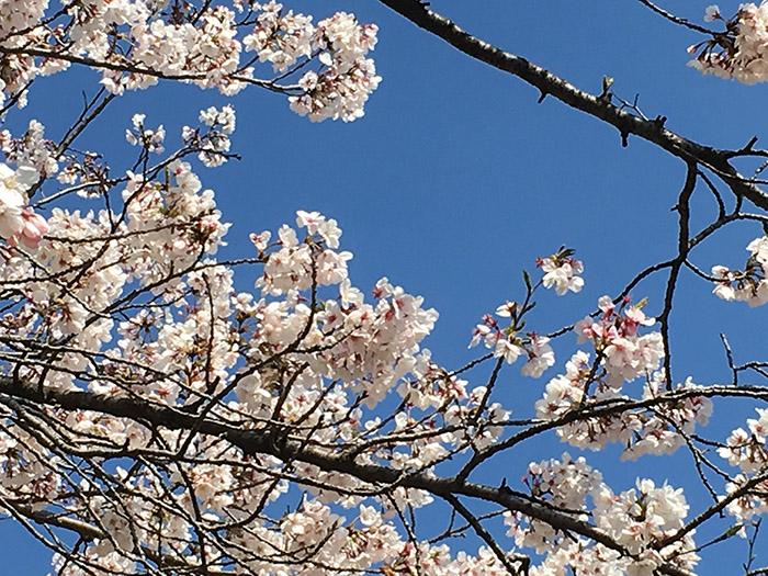 新元号,令和,号外,桜,満開,新年度,福岡