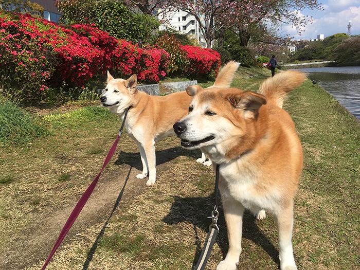 八重桜,つつじ,お散歩,マザー,ルーフ,福岡,保護犬