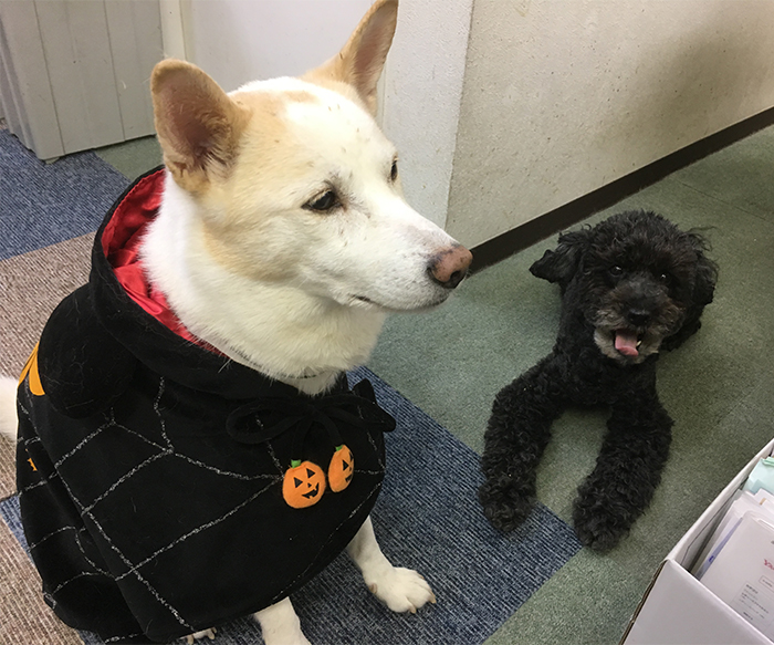 今日の犬猫,福岡,保護犬,ハロウィン,北斗,マザー,ルーフ
