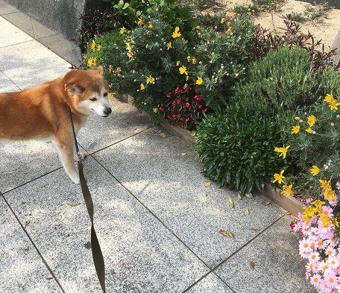マザー,ルーフ,保護犬,お散歩,お花見,シニア犬,福岡