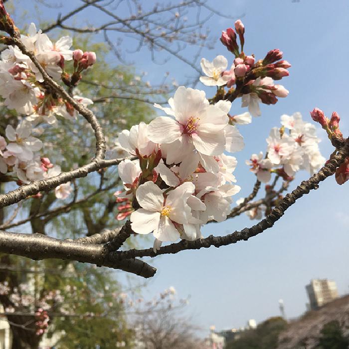 マザー,ルーフ,福岡,宴会,桜,拾い食い,病院,保護猫,風邪