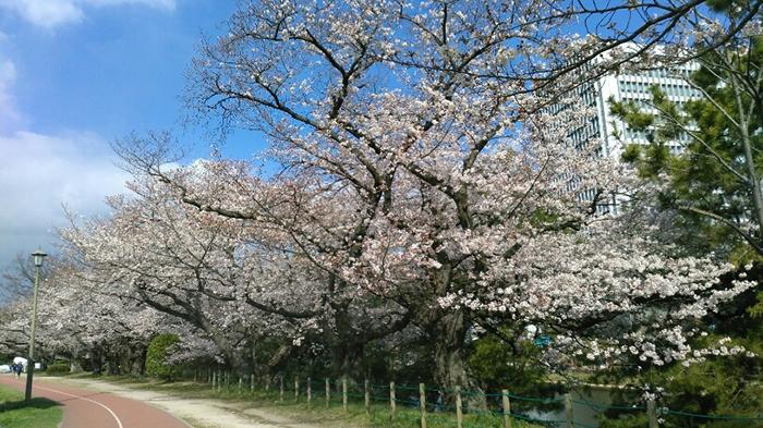 お花見,桜,福岡市,コロナ,大濠公園,舞鶴公園,福岡城趾,お散歩