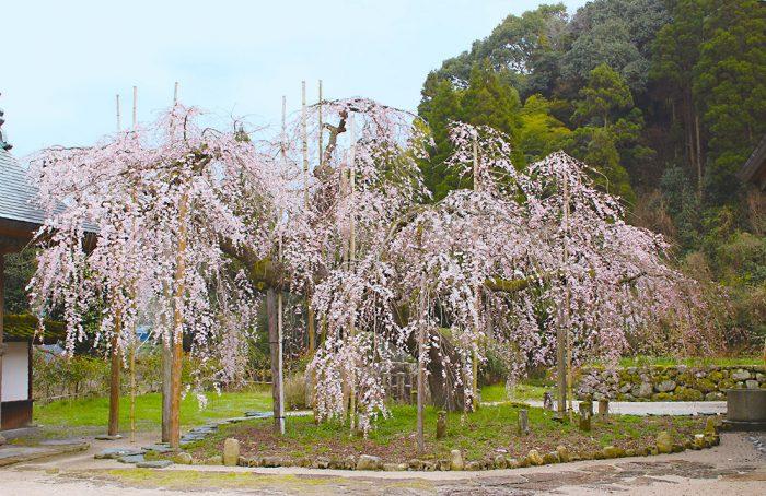 しだれ桜,福岡,桜,花見,スポット,イベント,桜祭り