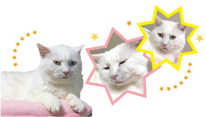 マザー,ルーフ,福岡,里親,オッドアイ,保護猫,白猫