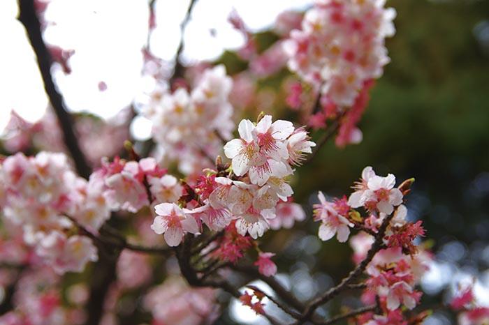 寒緋桜,福津市,宮地嶽神社,民家村自然公苑