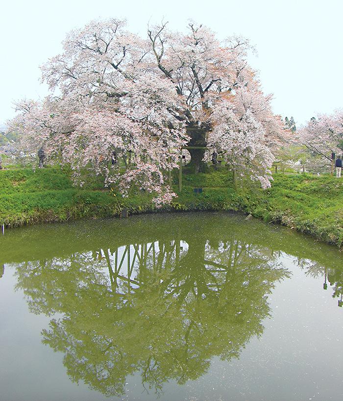 一本桜,福岡,桜,花見,スポット,イベント,桜祭り
