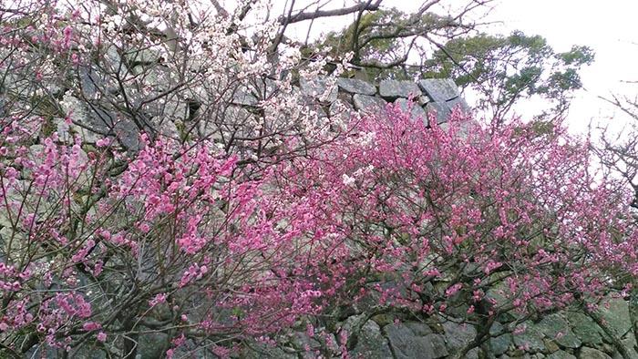 梅,水仙,菜の花,大濠公園,舞鶴公園,福岡市,お散歩