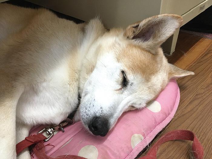 マザー,ルーフ,福岡,保護犬,シニア,高齢,健康診断,動物病院