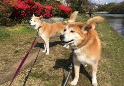 八重桜とつつじを見に行くお散歩