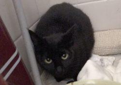 捕獲した黒猫はリリースをやめ里親探しをすることに!