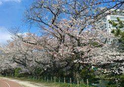 「お花見自粛」の折り、ここで桜をお楽しみください!