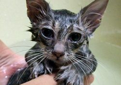 抜け毛の季節、猫もシャンプーをしてあげてください!