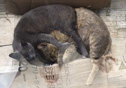 ボス猫トラちゃんとグレーの猫は本当に仲良しなんです