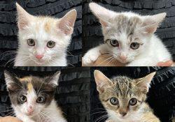 里親さん募集!新規参入赤ちゃん猫が4匹。