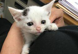 テーピングの赤ちゃん猫のお腹が腫れている!