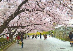 花見に行こう!福岡の桜スポット2017