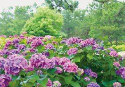 色とりどりに咲き誇る紫陽花を見に行こう!